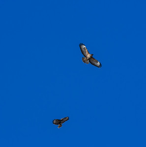 Buzzards, not eagles.  Nice all the same.