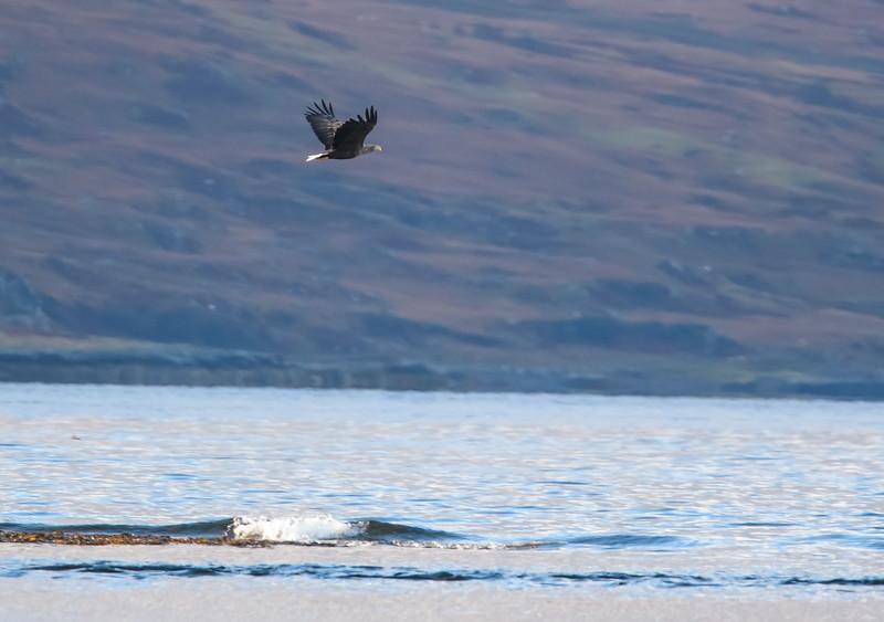 Sea eagle, and sea loch