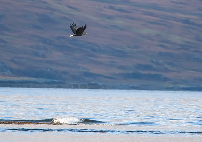 Sea eagle, and sea loch