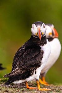 We tend to think of the puffin as a difficult bird to get close to.  On Skokholm, juvenile puffins come over and peck your toes if (like me) you're silly enough to wear sandals.