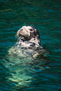 Atlantic Grey seals are present in the waters around the Island throughout the year in large numbers, and are regularly seen basking on rocks at low water. Close inshore there are daily sightings of Harbour Porpoise, and regular sightings of common, bottlenose and Risso's Dolphins.