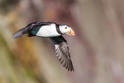 Puffin in flight.  I spent ages trying to get the perfect shot.  (Note: you never get the perfect shot!)