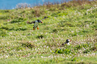Puffins are really fast flyers.  But they look particularly ungainly as they come in to land!  They sometimes make mistakes and end up in a bundle of feathers - unhurt except for their wounded pride.