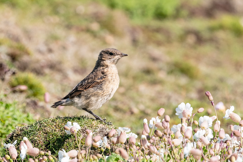 This is a juvenile Wheatear.  Lots of them on Skokholm, but not easy to photograph (IMHO).