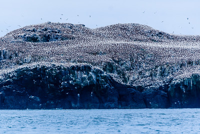 Grassholm is one of the largest gannet colonies in the UK, outnumbered only by the huge populations at St Kilda and other parts of Scotland.  The gannet, also known as the  Solan goose, was a food source in olden days, and the fishermen of Marloes and Dale used to collect them and their eggs for food, a practice which still goes on at Ness in Scotland to this day. Its feathers were also prized as down for stuffing mattresses and eiderdowns years ago. The gannet's voracious appetite for fish has caused its name to become an uncomplimentary label for human gluttons.