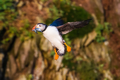 The obligatory shot of a puffin with a beakful of sandeel.