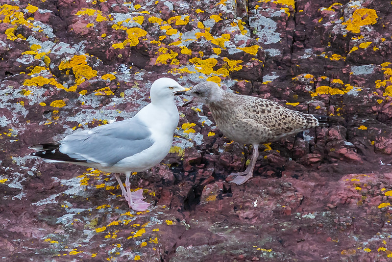 Herring gull feeding its young.  Almost as big as its parent!