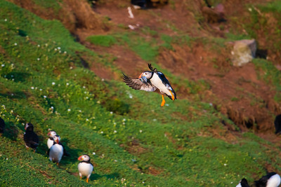 Oooh look!  A puffin with sandeels - how unusual!