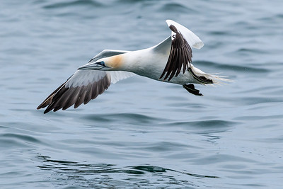 Gannets are magnificent birds and I took a rib trip to a Grassholm Island where thousands of them nest.  This one is just taking off from the surface of the  sea as our rib passes it.
