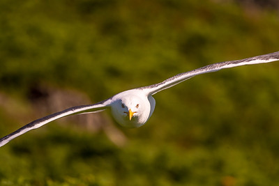 Great black backed gulls will fly straight at your head to warn you away from their young.  My monopod came in very handy to ward them off - you don't want a faceful of heavy gull travelling at high speed!