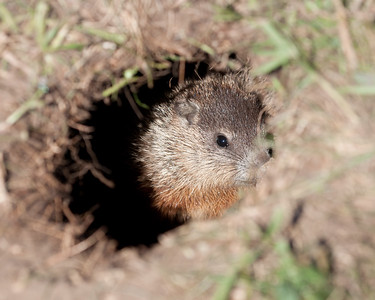 Groundhog (Marmota marmox)