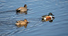 Shovelers and out of focus Gadwall