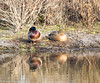 Sleeping Mallards