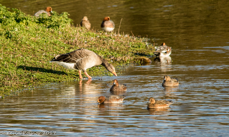 Greylag  Goose (Anser anser) and Wigeon (Anas penelope)