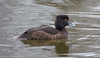 Female Tufted Duck (Aythya fuligula)