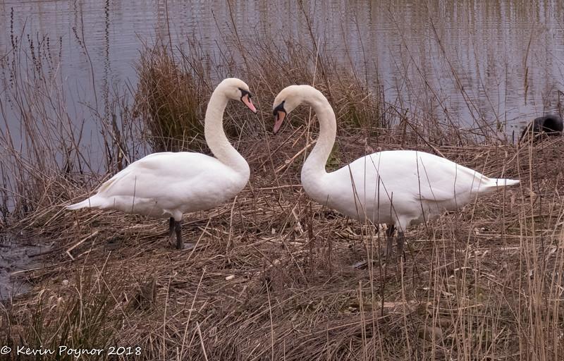 Mute Swan ( Cygnus olor)
