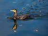 Cormorant (Phalacrocorax carbo)
