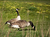 Canada Goose (Branta canadensis) grazing Brandon Golf Course (a proper use for a golf course!).