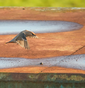This is the top of a steel container.  The waxwings had been drinking and washing in the puddles on the container roof.