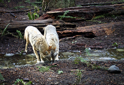 Grey Wolves at Stream