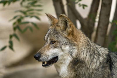 Mexican Wolf 3