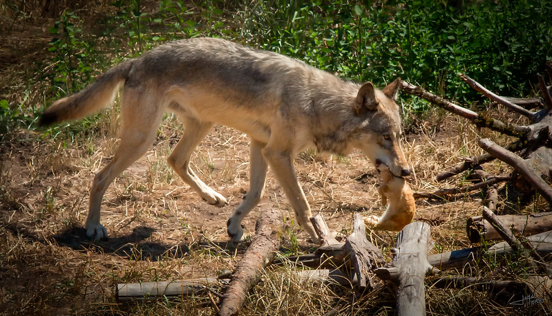 Wolf with Dinner