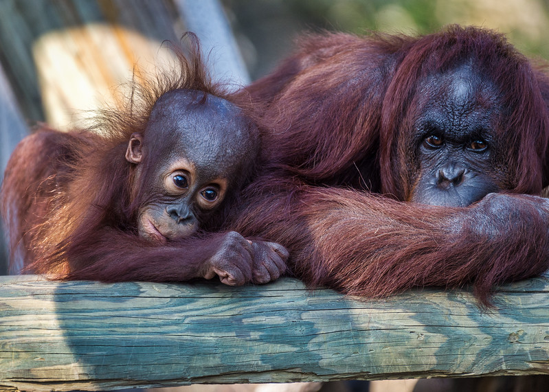 Orangutan with infant