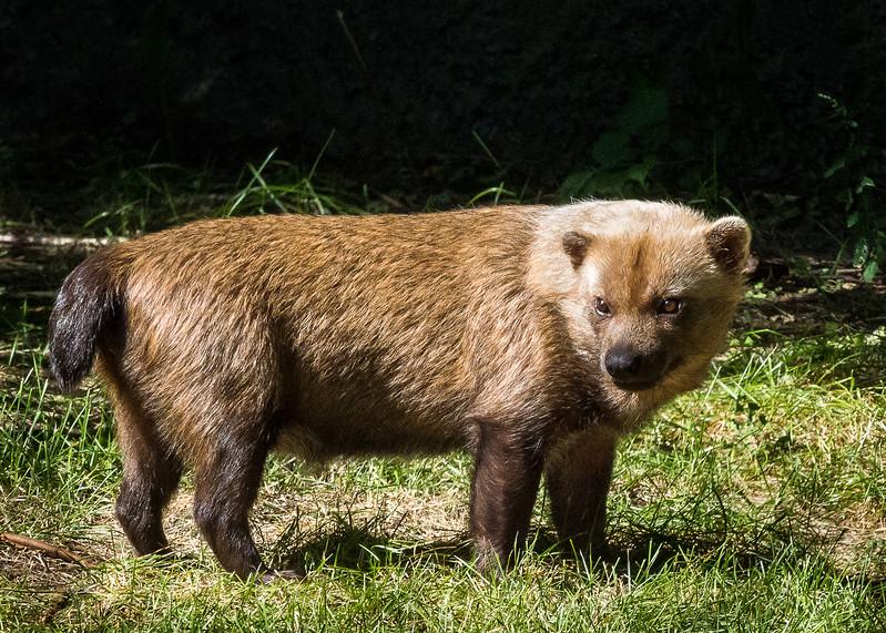 Bush Dog