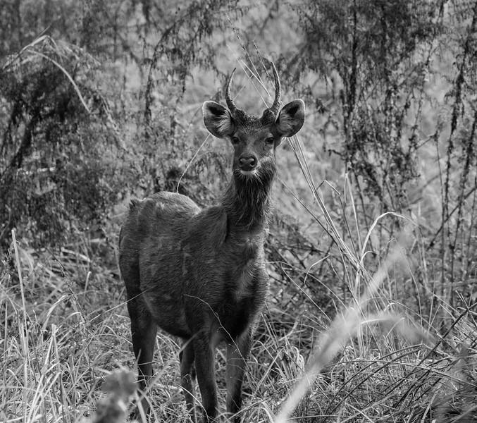 Dhikala - Corbett National Park