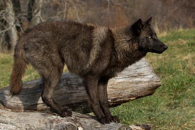 Wolf Pose