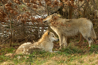 Two Wolf Puppies