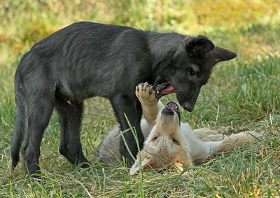 Two wolves playing