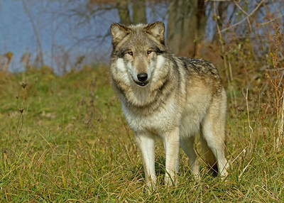 Beautiful Gray Wolf
