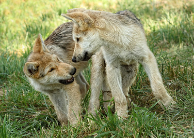 Two Little Wolf Pups