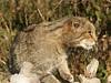 Scottish Wildcat (Felix Sylvestris)