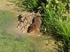 Water Vole (Arvicola Terrestris)