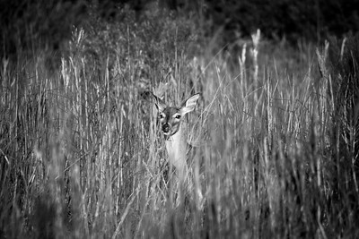 Black and Whitetail Deer