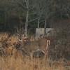 Assateague white tailed doe