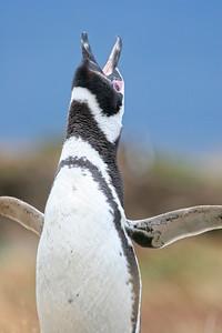 Magellan Penguin, Punta Arenas, Chile