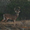 Assateague white tailed buck