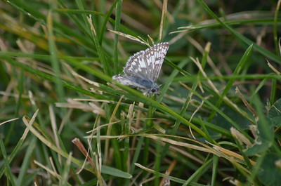 Silver Moth