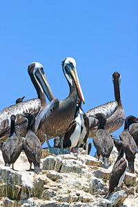 Pelicans & Guanay Cormorants on Palomino Island, Peru.
