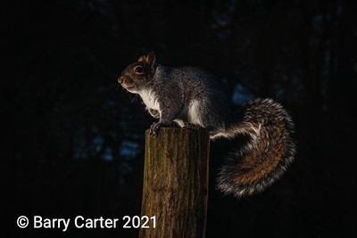 Grey Squirrel with Backlight