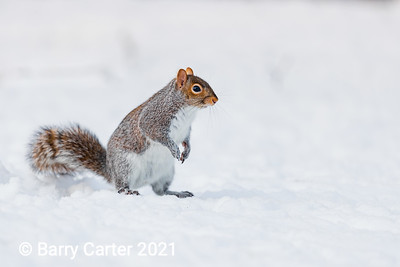 Grey Squirrel  Hunting for Food in the Snow