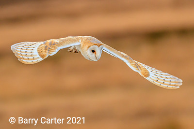 Barn Owl Hunting North York Moors