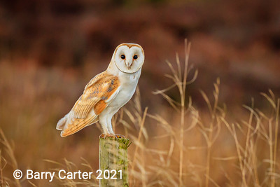Barn Owl North York Moors