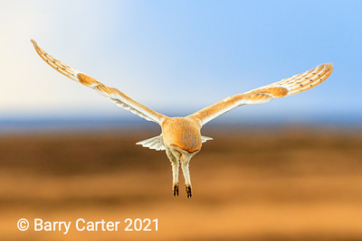 Barn Owl Hovering
