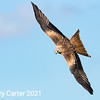 Red Kite Preparing Milvus Milvus