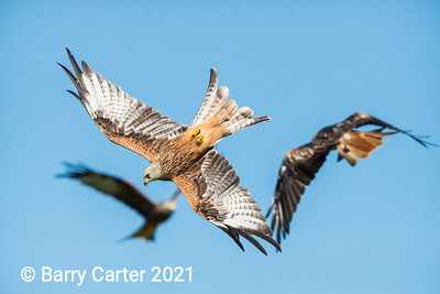 Red Kite in Sunshine