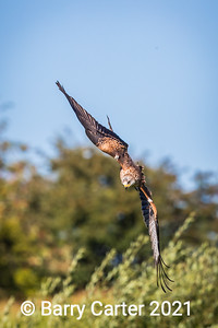 Red Kite Cutting In, Milvus Milvus
